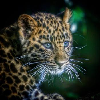 Amur Leopard Cub. Marwell 2016.