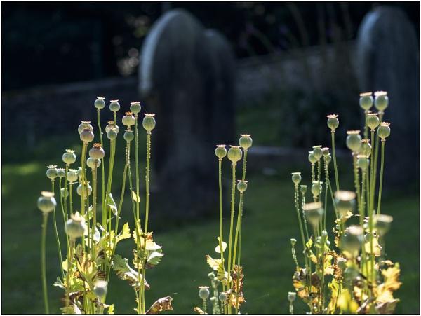 Poppy Seed Heads by woolybill1