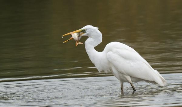 Great White Egret by Alec1