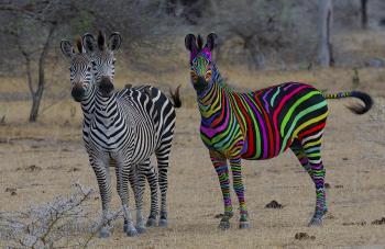 Rainbow Zebra looking for her man
