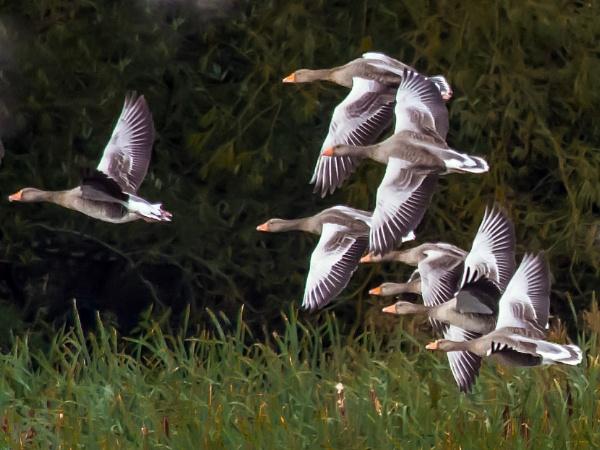 Greylag Geese. by delboy85