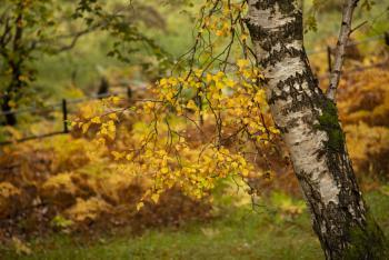 Autumnal Birch.