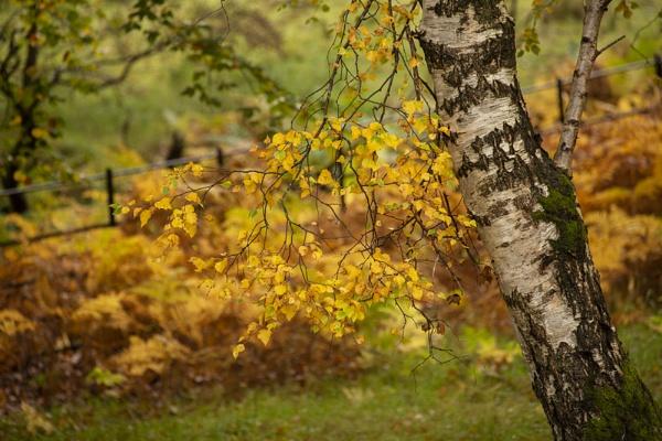 Autumnal Birch. by rontear