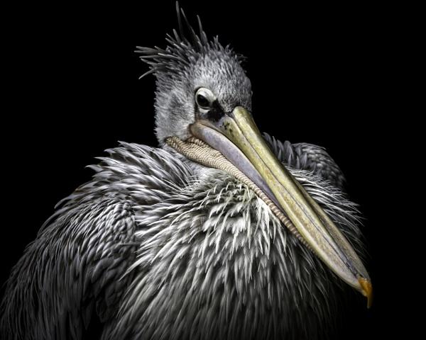 Pelican by adamsa