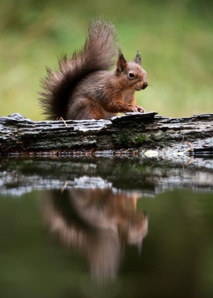 Red Squirel reflection by Gavin_Duxbury