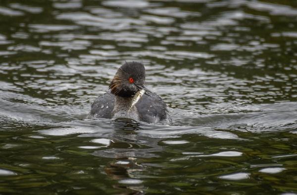 Black-Necked Grebe with Stickleback by jasonrwl