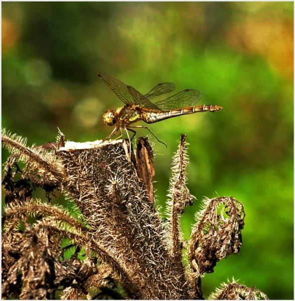 Dragonfly by JuBarney