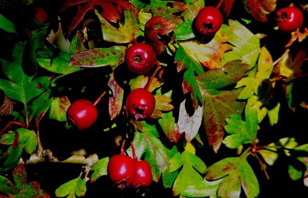Hawthorn Berries by af1