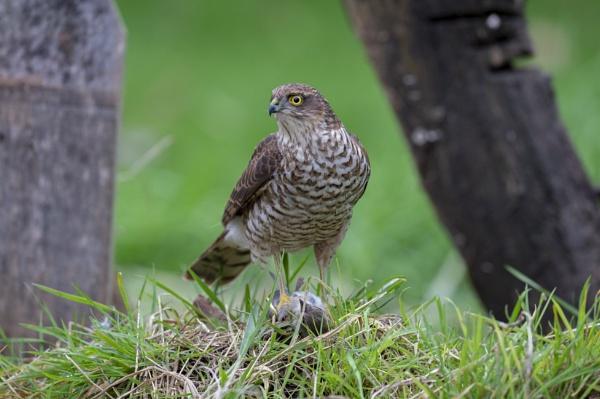 Sparrow Hawk with kill by 10delboy