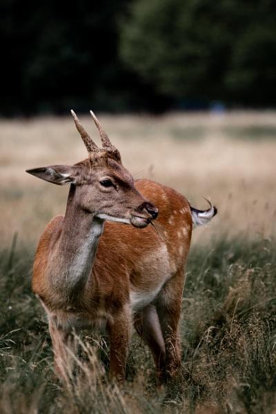 Deer in Bushy by TornadoTys