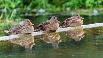 Hear No Evil - See No Evil - Quack No Evil