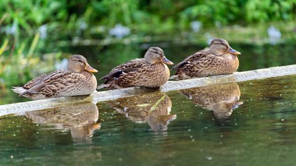 Hear No Evil - See No Evil - Quack No Evil by Halgiver
