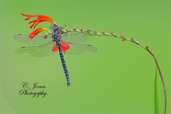 Dragonfly. by cjones