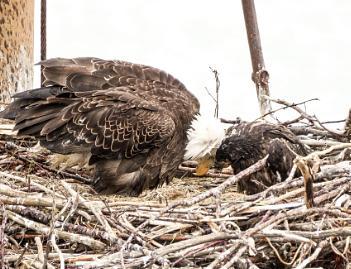 Eagle loves her chick
