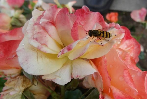 Fly... I am Hoverfly. by SauliusR