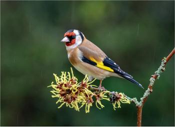 Goldfinch on Wych Hazel