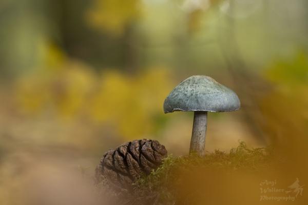 Blue Roundhead mushroom by Angi_Wallace