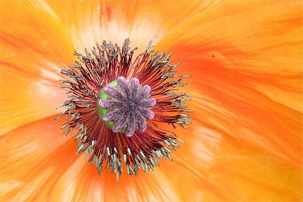 orange-poppy-heart-1.jpg