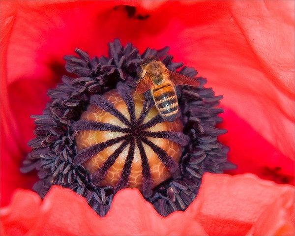 poppy-with-bee.jpg