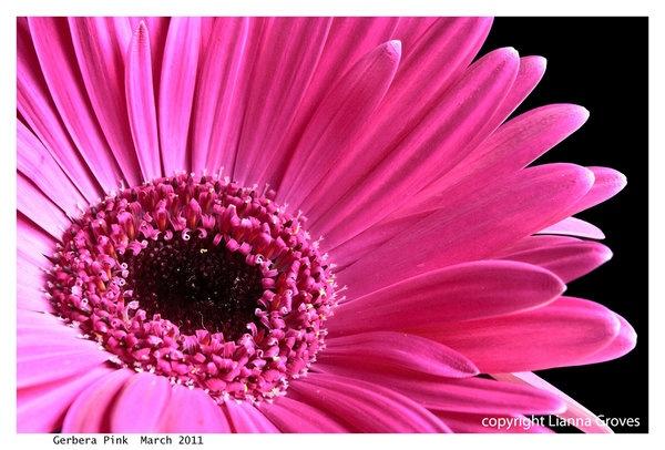 1067gerbera-pink1.jpg