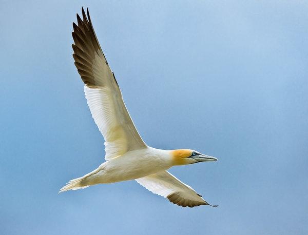 gannet2.jpg