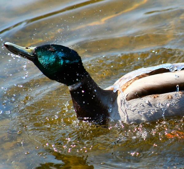 duck-bath.jpg