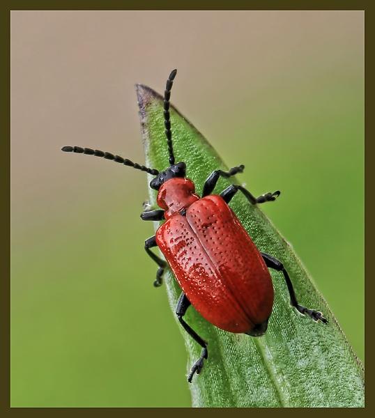 1-lily-beetle-4a.jpg