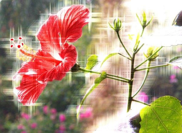 105-hibiscus-8july09.jpg