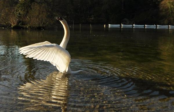 open-swan---swanbourne-lake-scott-lainchbury.jpg