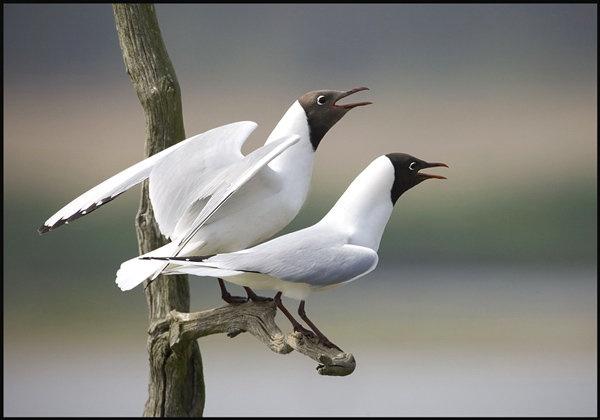 black-headed-gulls.jpg