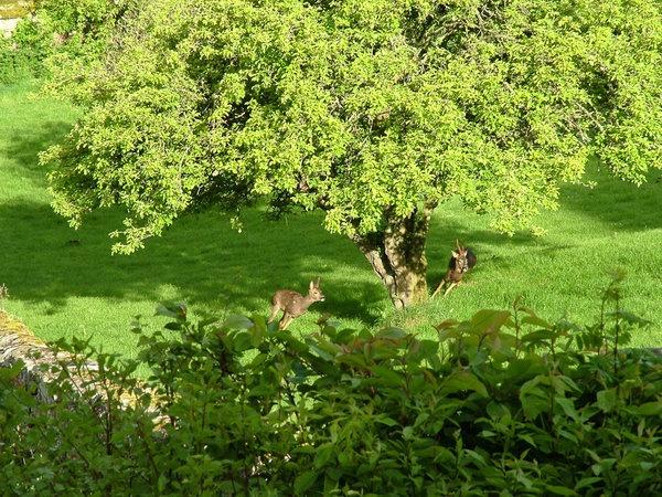 deer-in-garden.jpg