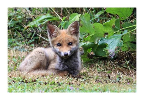 fox-cub--1-of-1-.jpg