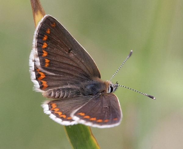 brown-argus.jpg