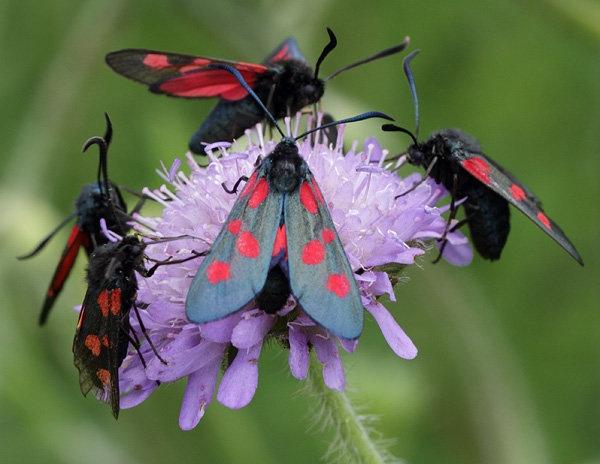 nb-5-spot-burnet-moth.jpg