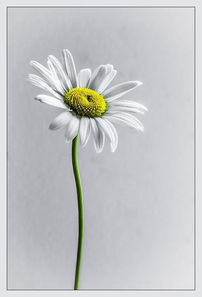 daisy--colour--31x21-11.jpg