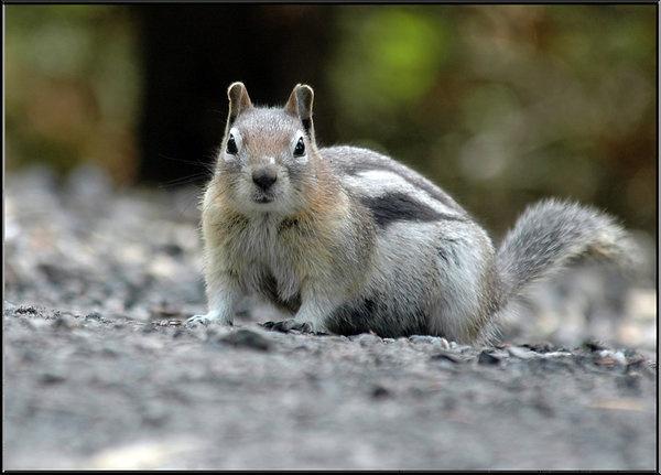 goldensquirrel.jpg