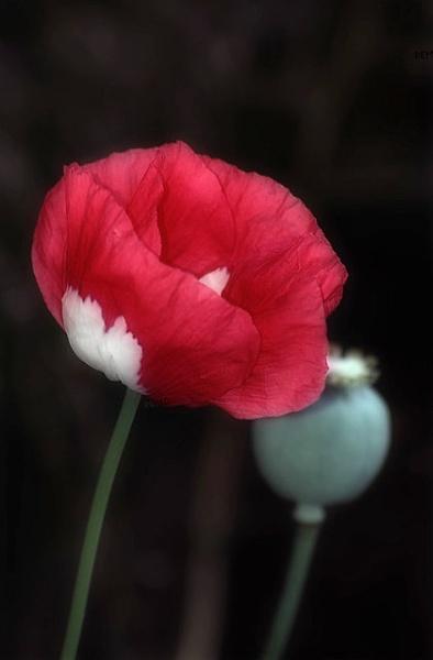 poppy0001.jpg