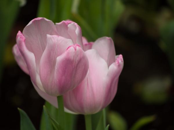 tulip3-800-2250023.jpg