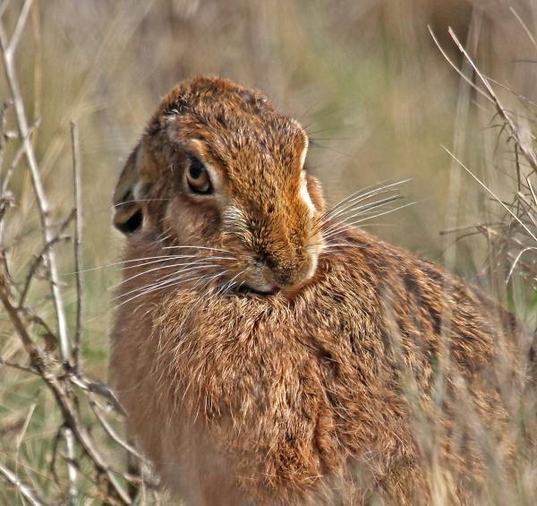 hare-2396-psl-c-clone.jpg
