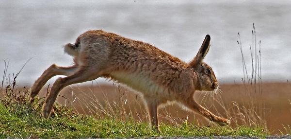 hare-running-2409---copypsl-c-clone-crop2.jpg