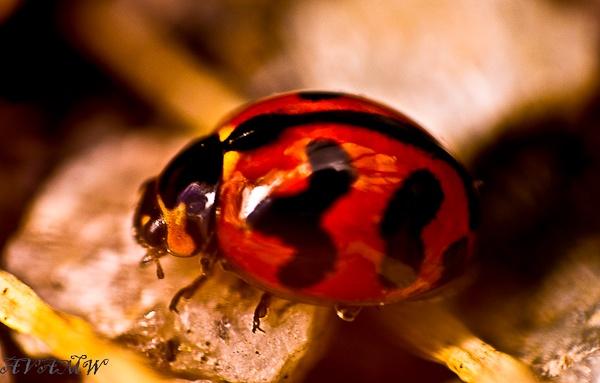 ladybug-.jpg