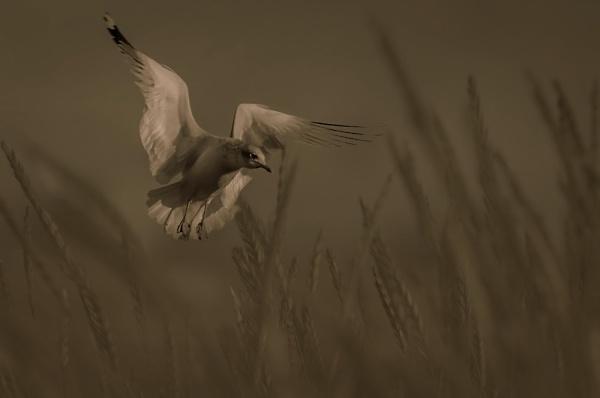 wheat-seagull.jpg