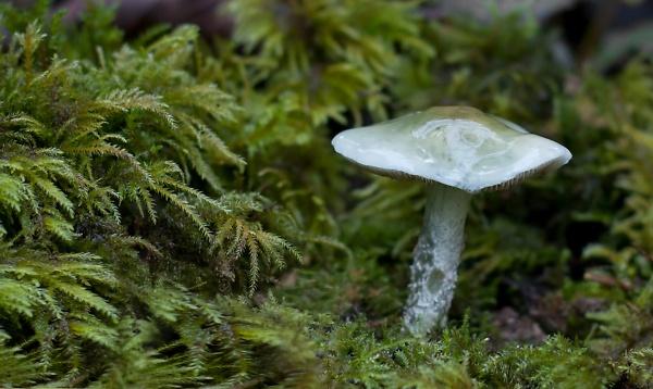 blue-round-head--stropharia-caerulea-.jpg