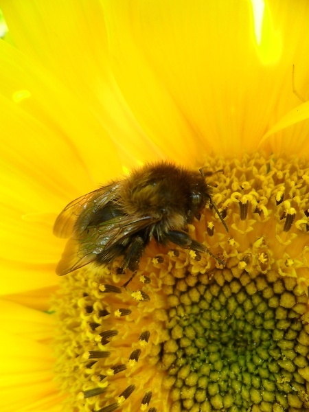 beesunflower.jpg