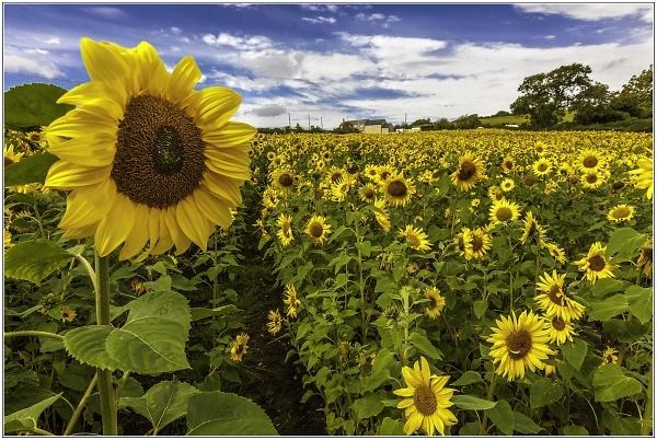 sunflowers-edit-jan--14.jpg