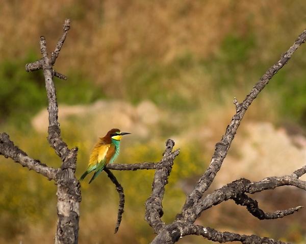 a-1-a-bee-eater-9-1-2012.jpg
