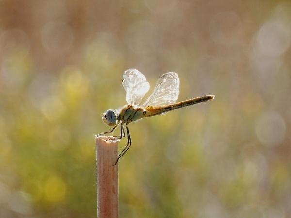 1-angel-dragonfly.jpg