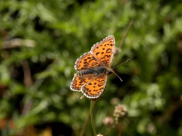 1-lesser-spotted-fritillary.jpg