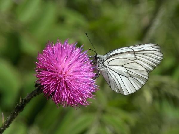 2-black-veined-white.jpg