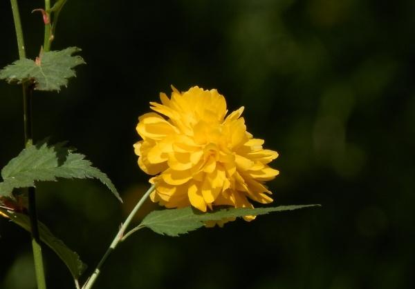 japanese-yellow-rose.jpg